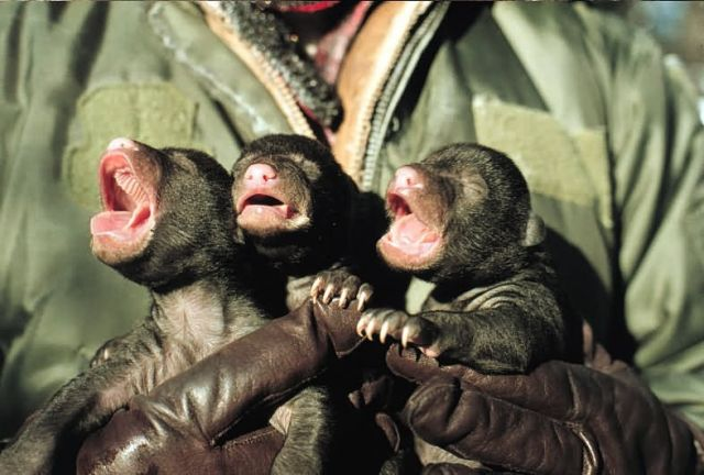 Inspecting Newborn Black Bear Cubs Picture