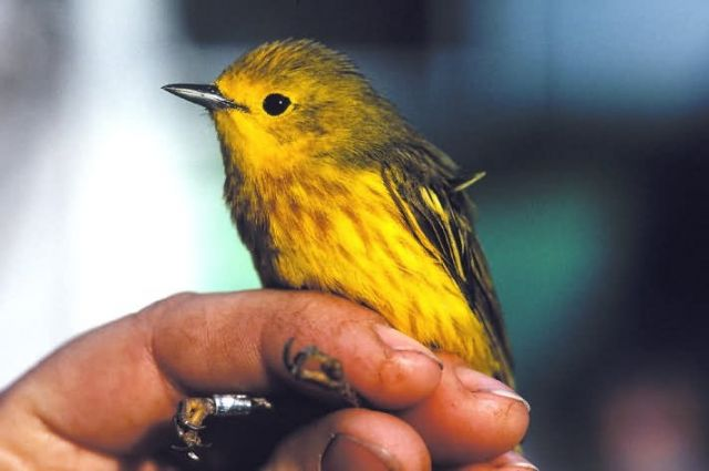 Banding a Yellow Warbler Picture
