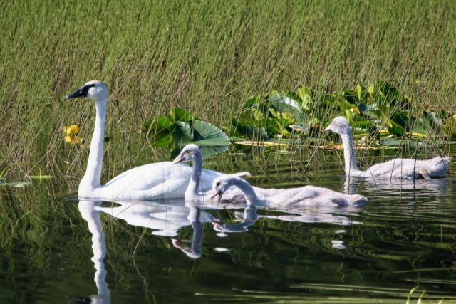 Trumpeter Swan Brood Picture