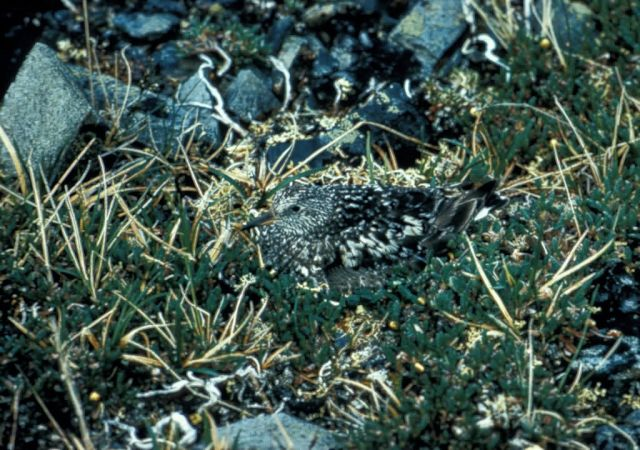Surfbird Camouflaged in Vegetation Picture