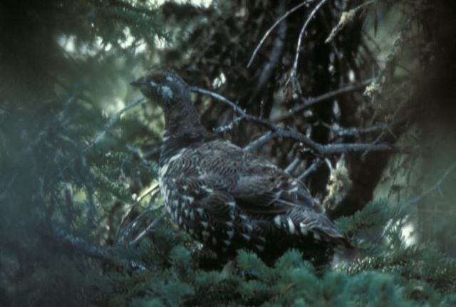 Spruce Grouse Picture