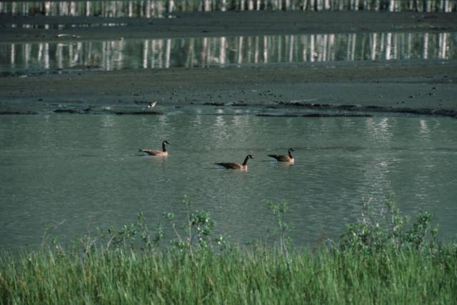 Canada Goose Trio Picture