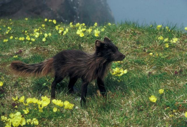 Arctic Fox on St. George Island, Pribilofs Picture