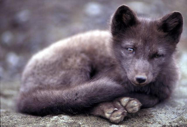 Arctic Fox on St. Paul Island in the Pribilofs Picture