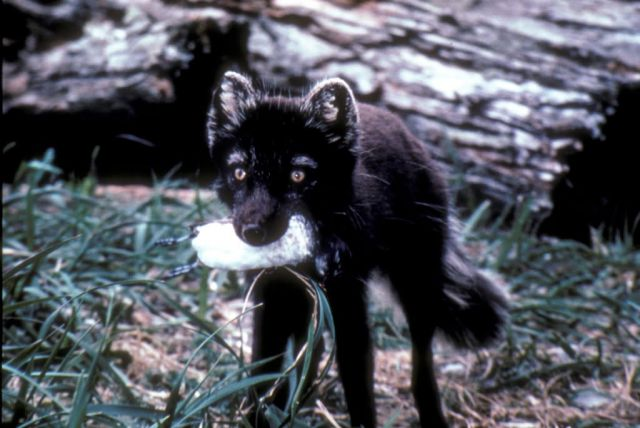 Arctic Fox with Least Auklet on St. Matthew Island Picture