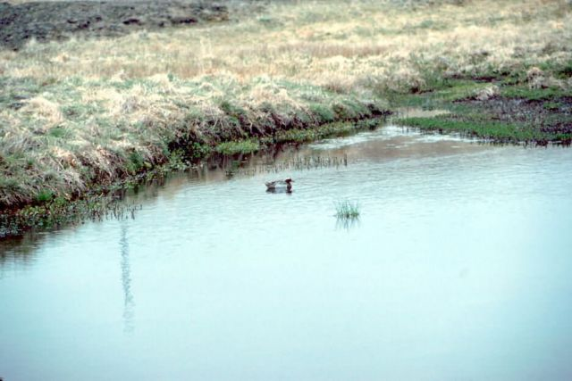 Garganey Duck Picture