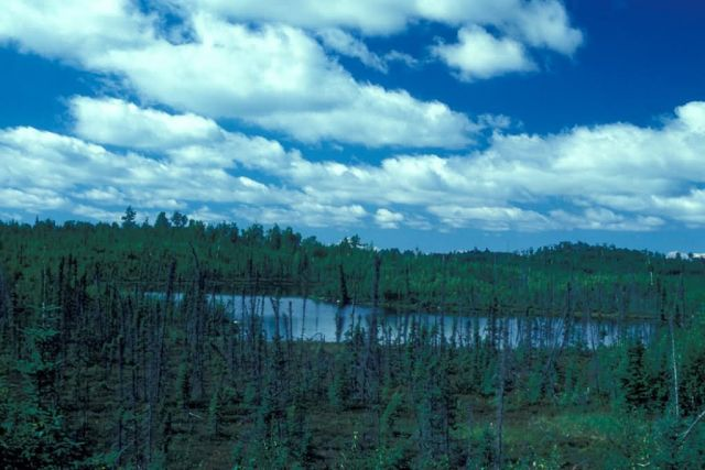 Low Growing Spruce Forest and Lake Picture
