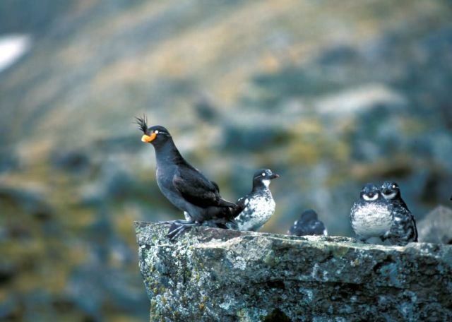Least and Crested Auklets, St. Matthew Island, Alaska Picture