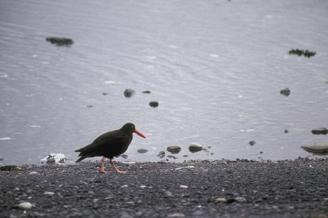 Black Oystercatcher at Shoreline Picture