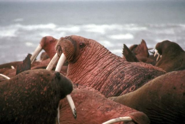 Walrus Herd at Cape Seniavin Picture