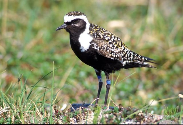American Golden-Plover male 1998 Picture
