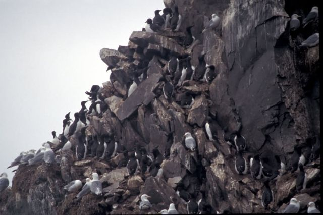 Bogoslof Island murres and kittiwakes, 2002 Picture