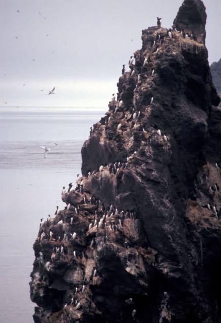 Bogoslof Island cliff nesters Picture