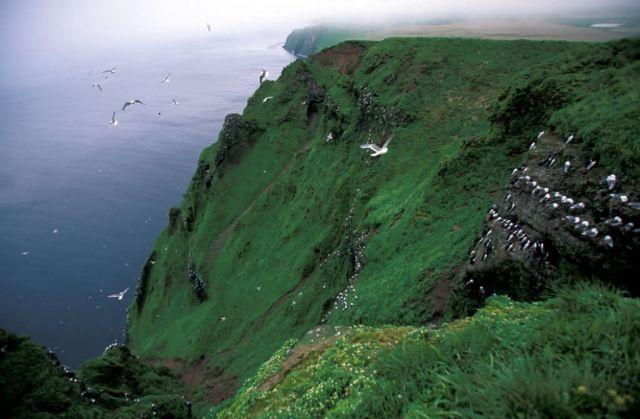 Red-legged Kittiwake colony, St. George Island, Alaska Picture