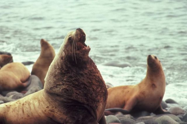 Steller Sea Lions Picture