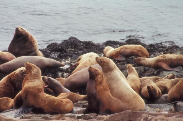 Steller Sea Lions Picture