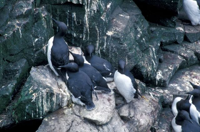 Common Murres, Hall Island, Bering Sea Picture