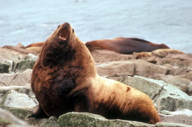 Steller Sea Lions at Haulout Picture