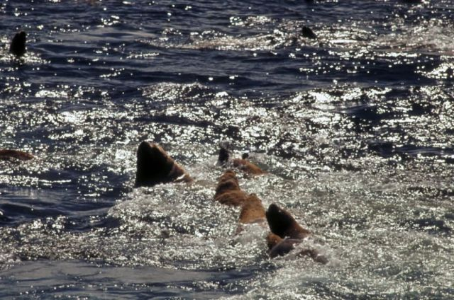 Steller Sea Lions in the Water Picture