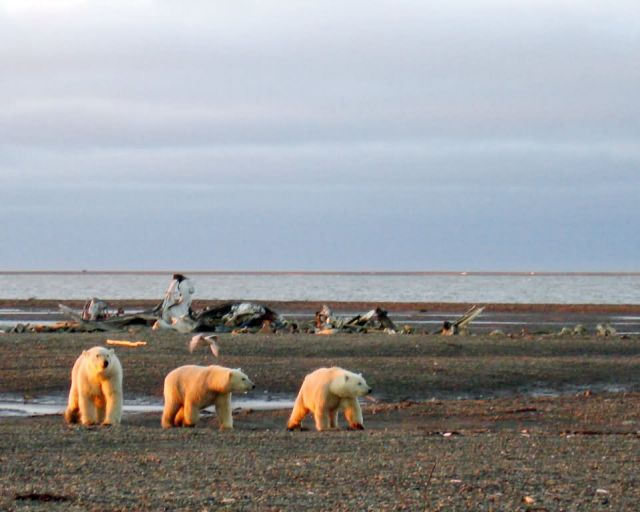 1002 Area: Three polar bears on the Beaufort Sea coast Picture