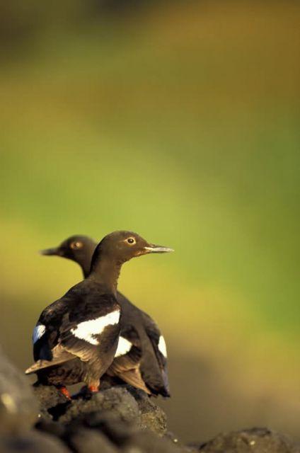 Pigeon Guillemots, St. Lazaria Picture