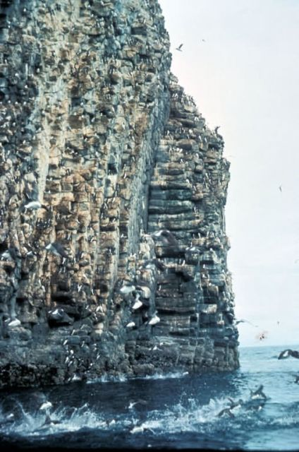 Shumagin Islands Murre colony Picture