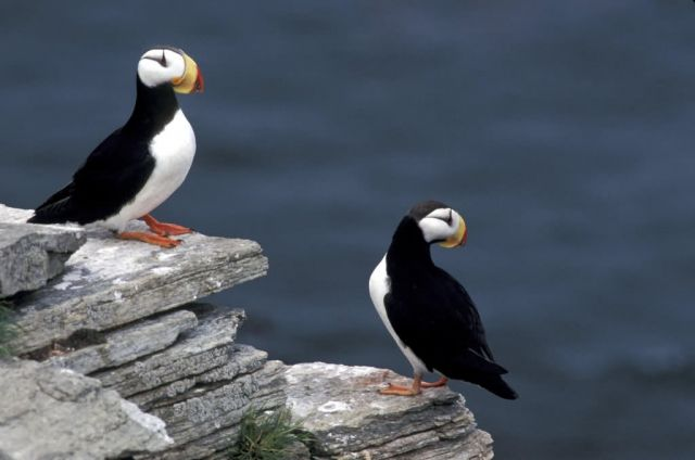 Horned Puffin Picture