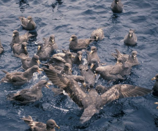 Northern Fulmar flocks,1987 Picture