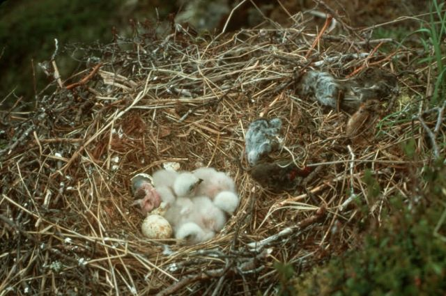 Rough-legged Hawk Chicks in Nest Picture