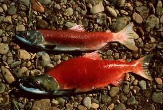 Sockeye Salmon Picture