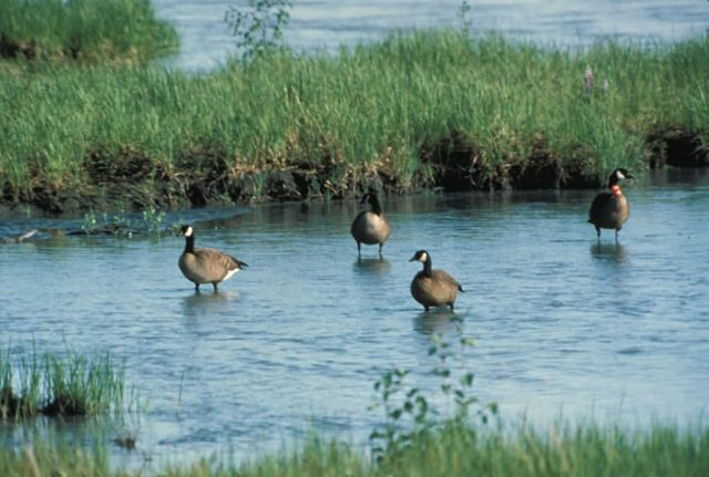 Dusky Canada Geese Picture