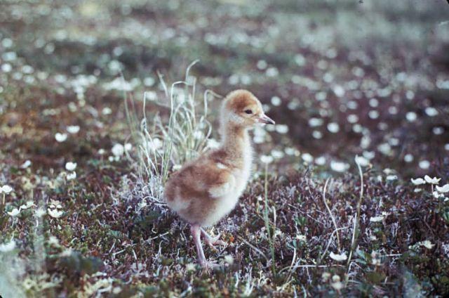 Sandhill Crane Chick Picture