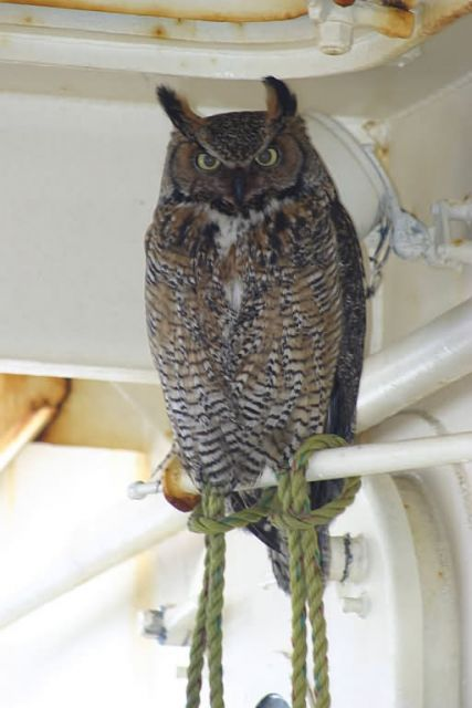 Great Horned Owl on M/V Tiglax Picture