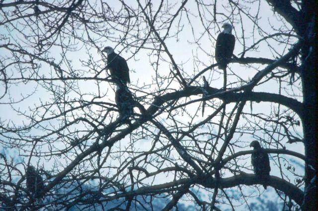 Bald Eagles Picture