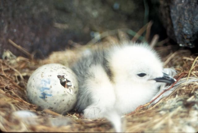 Red-legged Kittiwake chick Picture