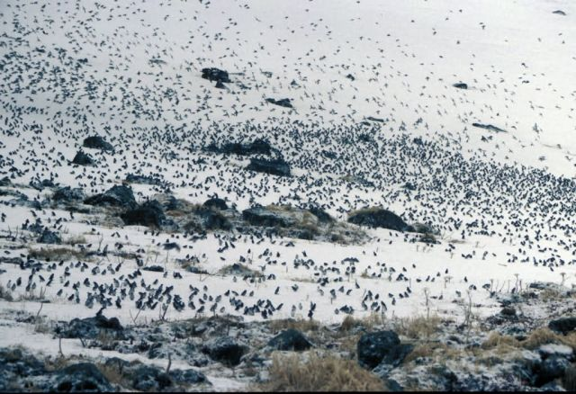 Least Auklets in snow, Ulakaia Ridge Picture