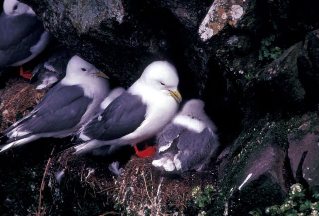 Red-legged Kittiwake Picture