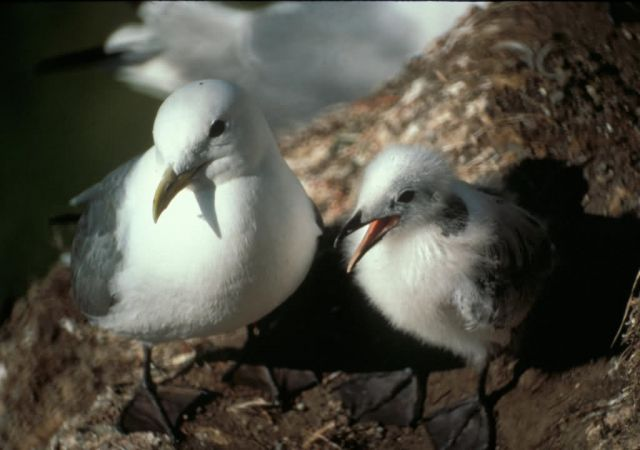 Black-legged Kittiwake with chick, Middleton Island Picture
