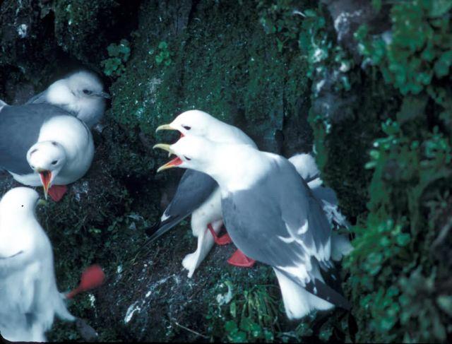 Red-legged Kittiwake nest defense Picture
