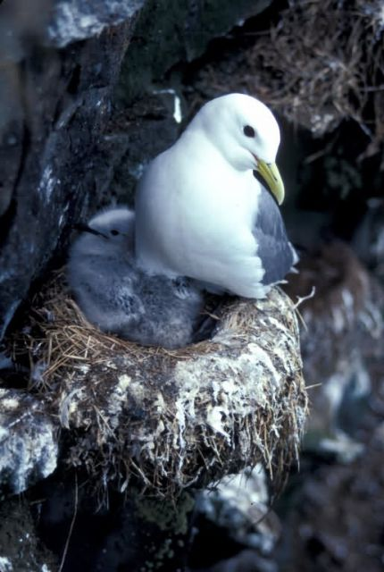 Black-legged Kittiwake Picture