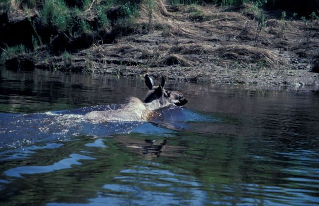 Swimming Moose Picture