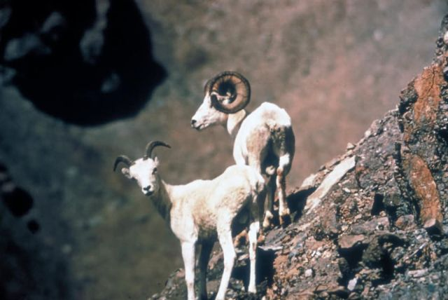 Dall Sheep Pair Picture