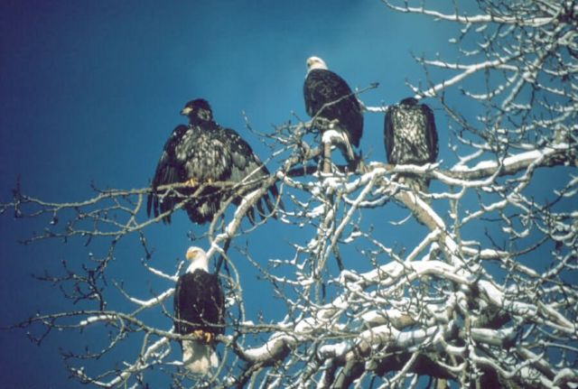 Bald Eagles Adult and Fledglings Picture