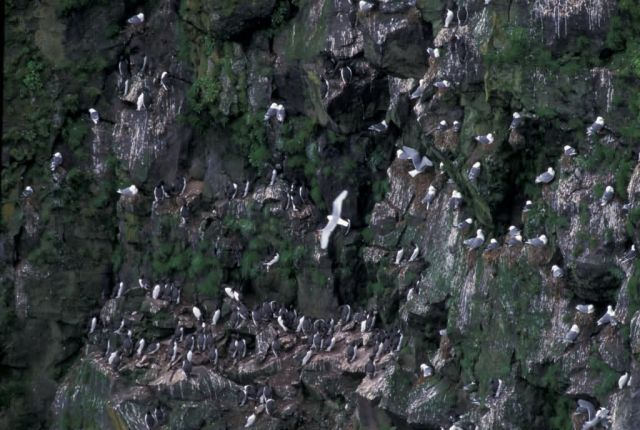 Murre and kittiwake nest, St George Island Picture