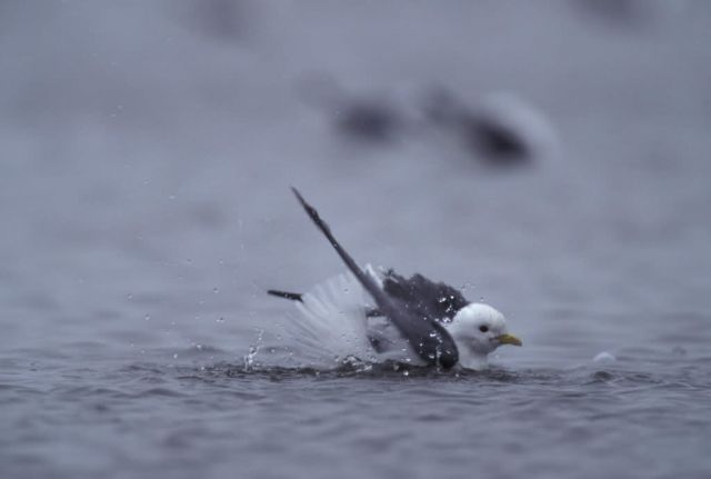 Red-legged Kittiwake bathing Picture