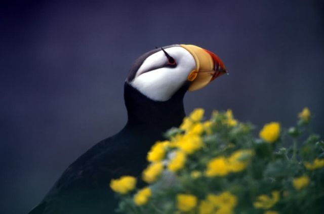 Horned Puffin, St. George Island Picture