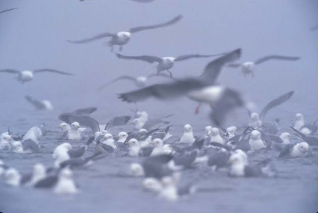 Red-legged Kittiwake flock Picture