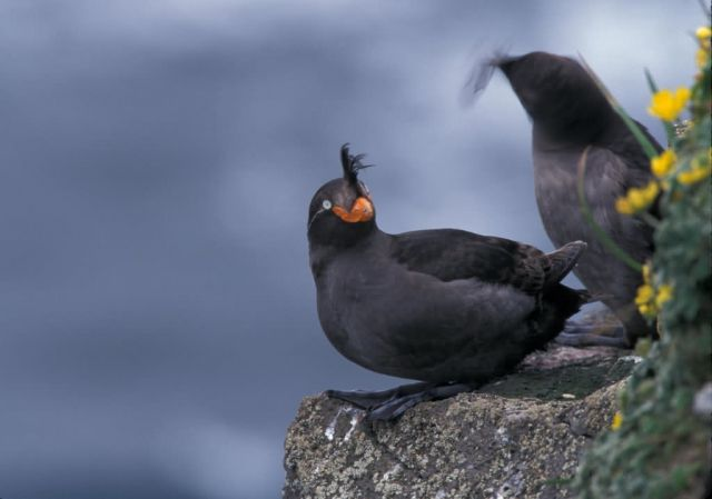 Crested Auklets, St. George Island Picture