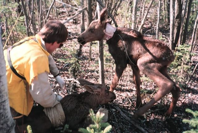 Attaching Tracking Collar to a Moose Calf Picture