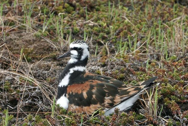 Ruddy Turnstone on Nest Picture
